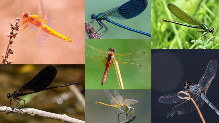Meaning and Symbolism of Different Dragonfly Colors