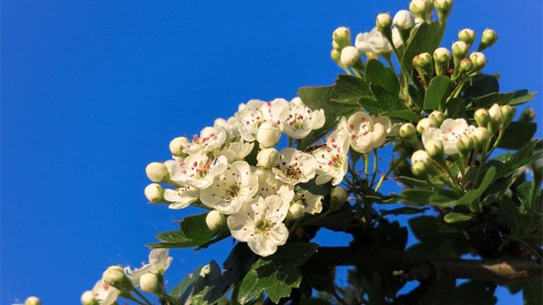 The hawthorn tree